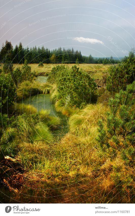 Kleiner Moorsee im Hochmoor Erzgebirge Landschaft Sumpf Teich grün Georgenfelder Hochmoor Zinnwald Sträucher Wildnis Naturschutzgebiet unberührt urwüchsig