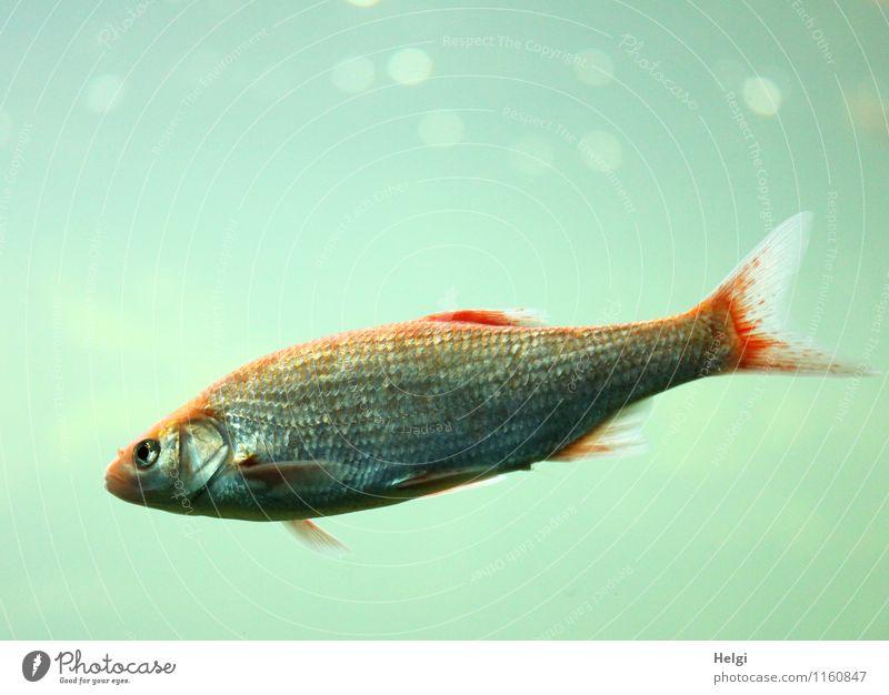 schwerelos... Natur blau Wasser rot Einsamkeit Tier Umwelt Leben klein grau Schwimmen & Baden Zufriedenheit nass einzigartig Fisch Lichtpunkt