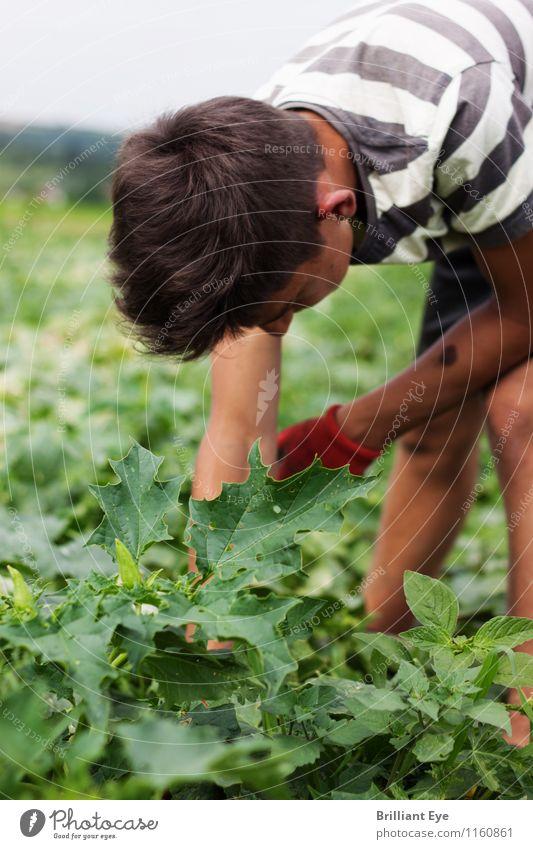 Sich bücken um Gurken zu pflücken Mensch Natur Jugendliche Pflanze 18-30 Jahre Erwachsene Umwelt Arbeit & Erwerbstätigkeit maskulin Feld Landwirtschaft Gemüse