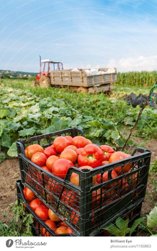 Tomatenbox vor Traktor Sommer Landwirtschaft Forstwirtschaft Natur Landschaft Pflanze Wetter Schönes Wetter Nutzpflanze Feld ästhetisch frisch Gesundheit