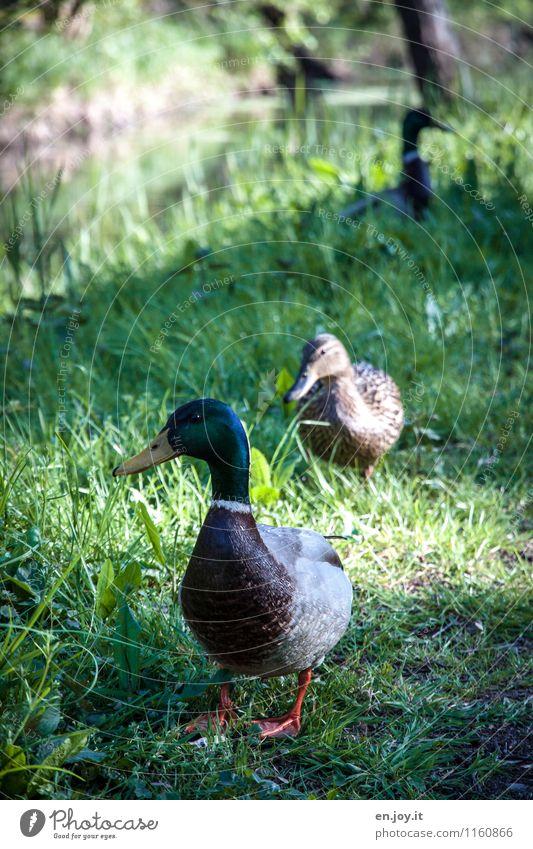 einer zuviel Natur Tier Frühling Sommer Gras Wiese Bach Wildtier Vogel Ente Stockente 3 Tierpaar Brunft beobachten grün Lebensfreude Frühlingsgefühle Liebe