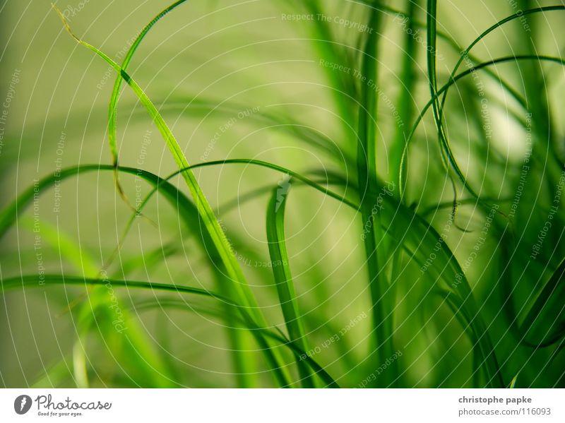 Greenlines Bioprodukte Dekoration & Verzierung Natur Pflanze Frühling Gras Wachstum natürlich weich grün Halm ökologisch Zimmerpflanze organisch Hintergrundbild