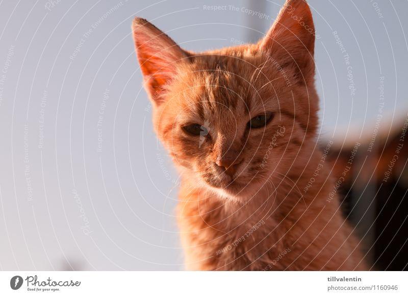 Miau Katze Natur blau Tier Tierjunges gold Interesse achtsam Jordanien Petra