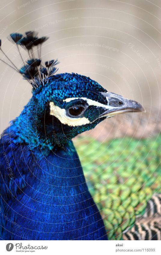 Letzter Pfau 2007 Tier Vogel Jagd dumm Kontrolle Wachsamkeit Vorsicht krumm Jäger Oktober Gegend Rum