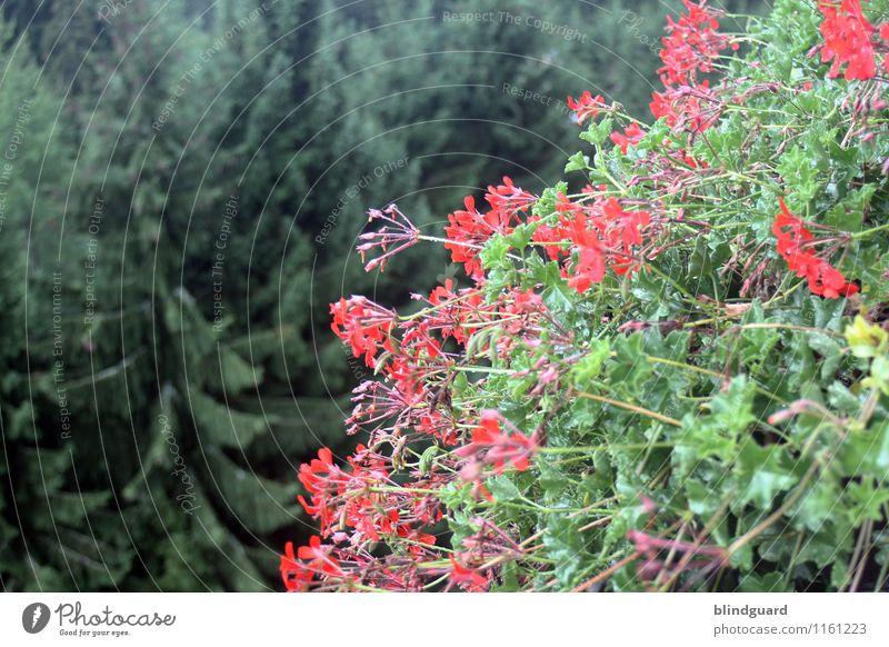 Blumen und Bäume Vogelperspektive Sommer blühen rot grün Tannen Wipfel Natur Pflanze Außenaufnahme Blüte Farbfoto Garten natürlich Menschenleer Nahaufnahme