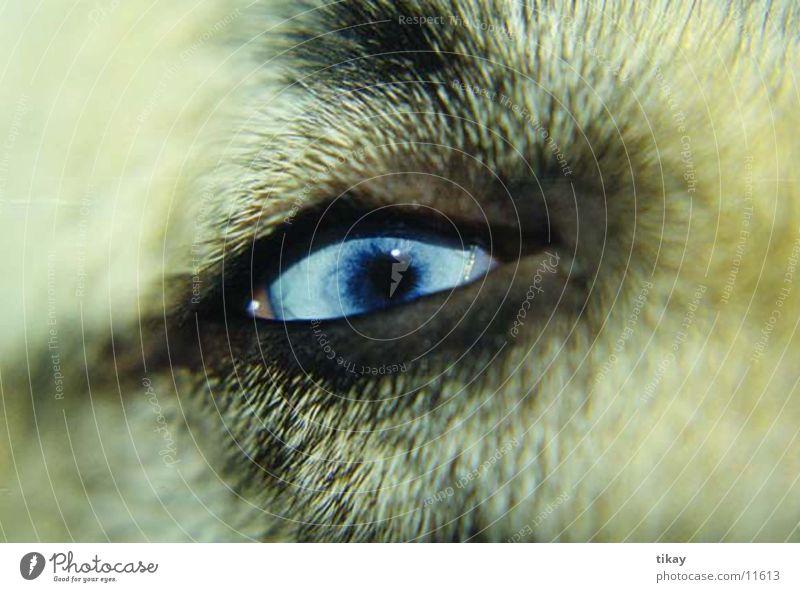 husky`s eye Hund Husky blaue augen
