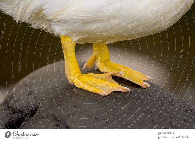 Tiger Feet I gelb Gans weiß kalt Barfuß Krallen Zehennagel Vogel Wasser Fuß Ente Schwimmhaut Feder Stein Bauch