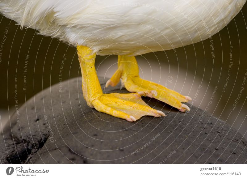 Tiger Feet I Wasser weiß gelb kalt Stein Fuß Vogel Feder Bauch Ente Barfuß Gans Krallen Schwimmhaut Zehennagel