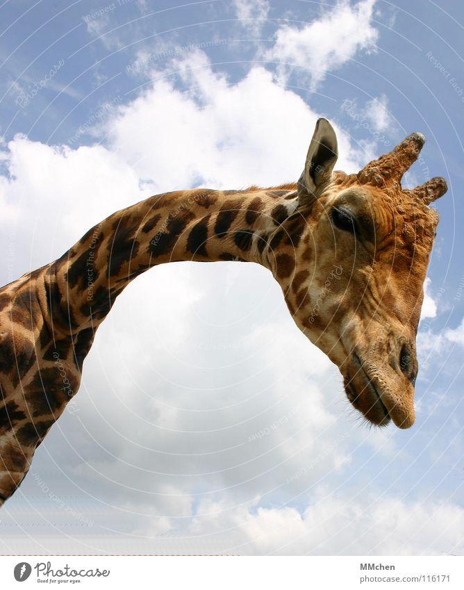 Gibt`s was Neues? Luft groß klein lang kurz gelb Zoo Besucher Tier Neugier Halswirbel Safari gefangen bücken gebeugt Lippen Fell Muster Säugetier Giraffe Himmel