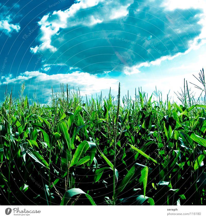 Popcorn Mais Maisfeld Landwirtschaft Feld grün blau Himmel Blüte Feldarbeit Samen Fruchtstand Blühend Wolken Pflanze Sommer Ernte ländlich Maiskolben Süßgras