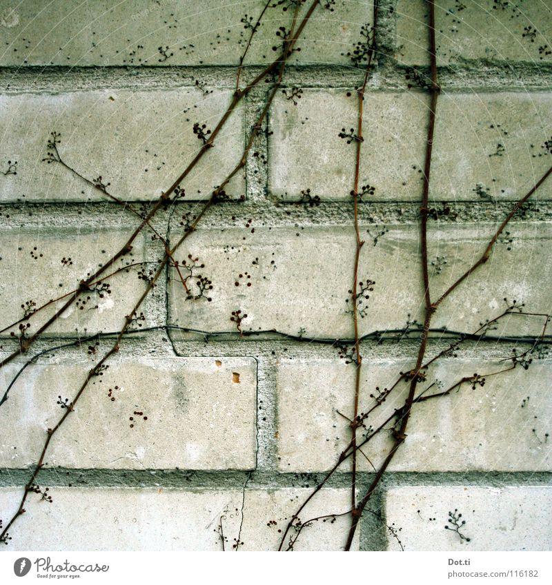 Mauerkatze Pflanze Winter Wand grau Mauer Stein Wachstum trist Wein Backstein Zweig Fuge Bildausschnitt Ranke Kletterpflanzen laublos