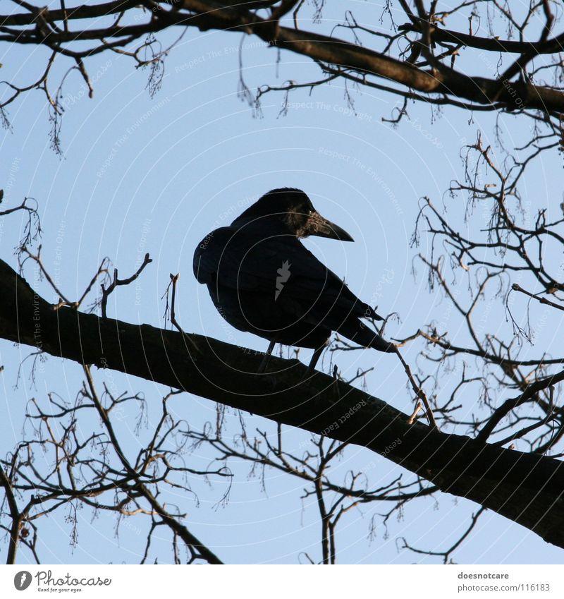 Nevermore. Himmel Baum blau schwarz Tier Herbst Tod Vogel Vergänglichkeit Wachsamkeit Rabenvögel Krähe Klarer Himmel