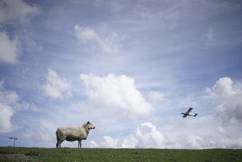 Aufm Deich ist was los Natur Himmel (Jenseits) Wolken Wiese fliegen Luftverkehr Schönes Wetter Flugzeug Schaf Blauer Himmel Wolle Nutztier