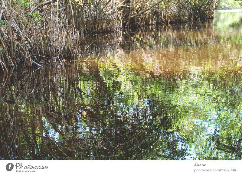 Wasserwege Natur Landschaft Urelemente Pflanze Mangrove Wasserpflanze Küste Meer Schwimmen & Baden ästhetisch glänzend gold grün exotisch schillernd