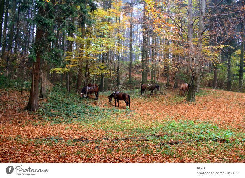 HERBSTIDYLLE Ferien & Urlaub & Reisen Tourismus Ausflug wandern Reiten Natur Landschaft Pflanze Tier Herbst Baum Wald Pferd 4 Herde Zufriedenheit Vertrauen