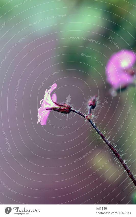 Blümchen Natur Pflanze Frühling schlechtes Wetter Regen Blume Blüte Lichtnelke Garten Park Wiese Feld Wald Flussufer Teich Bach schön kalt nass braun mehrfarbig
