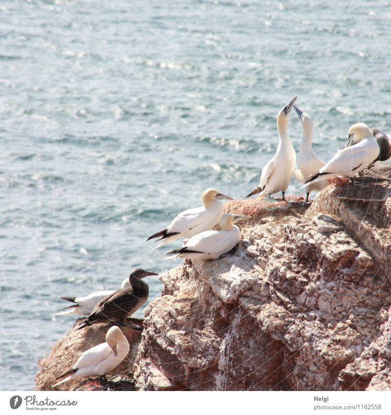 Brutkolonie... Ferien & Urlaub & Reisen Tourismus Meer Umwelt Natur Landschaft Tier Wasser Sommer Schönes Wetter Felsen Nordsee Insel Helgoland Wildtier Vogel