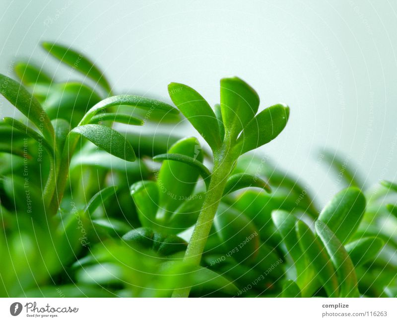 german bonzai Kresse grün Kräuter & Gewürze Ernährung Gesundheit Gesunde Ernährung Bioprodukte Stauden Pflanze Nahaufnahme Haushalt Biologische Landwirtschaft