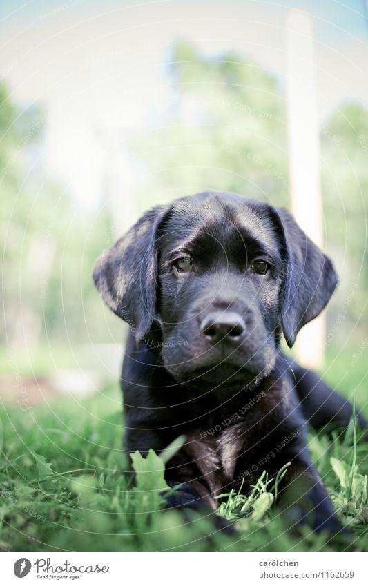 smal boy Tier Haustier Hund 1 grün schwarz Labrador Retriever Basti Welpe liegen Gras Farbfoto Nahaufnahme Schwache Tiefenschärfe Tierporträt