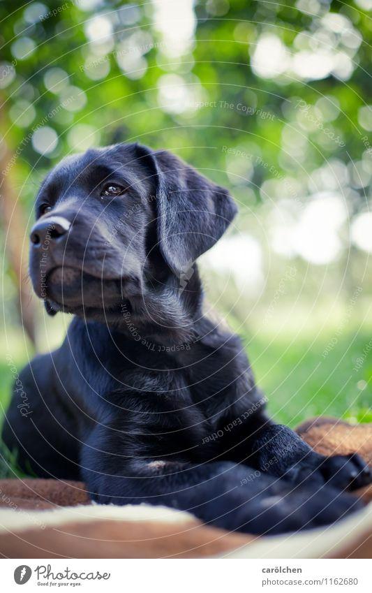 proud boy Hund blau grün Tier schwarz liegen Haustier Stolz Labrador Welpe