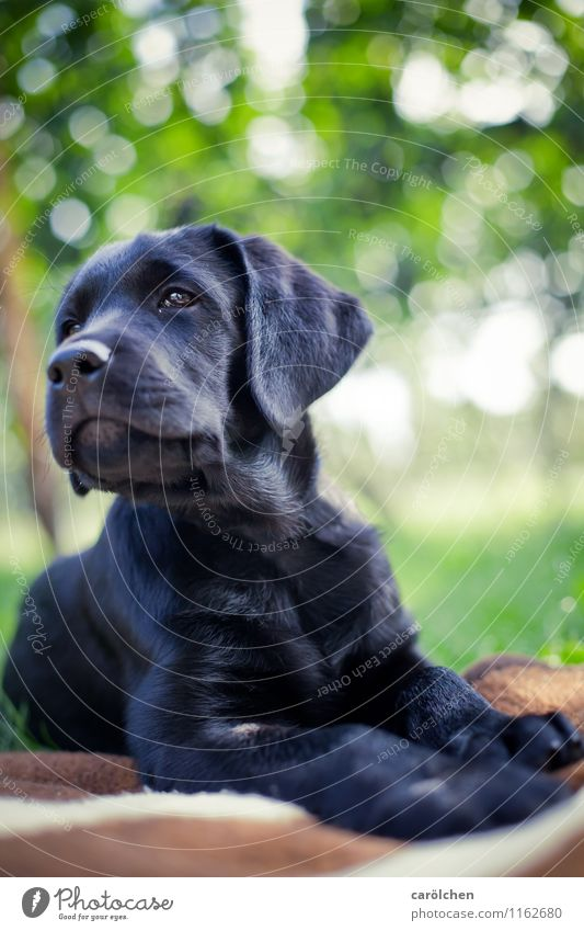 proud boy Tier Haustier Hund 1 blau grün Labrador Welpe Stolz Platz liegen schwarz Basti Farbfoto Außenaufnahme Nahaufnahme Textfreiraum oben