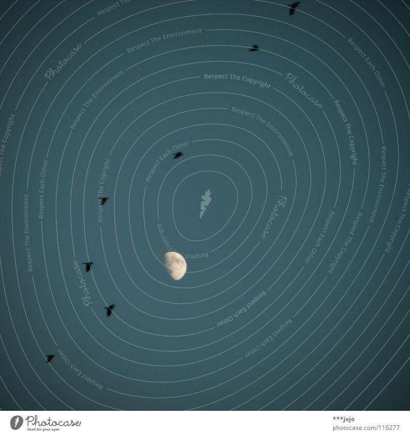 hitchcock. Vogel gruselig Himmel dunkel Regen Unendlichkeit Himmelskörper & Weltall unheimlich Rabenvögel Krähe Zugvogel Angst Panik blau Abend Mond moon birds