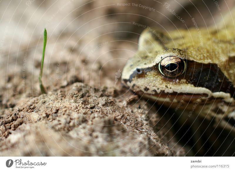 Fröschchen Blatt braun Erde Wildtier nass Halm Frosch König Froschlurche Lurch schleimig Kröte erdig