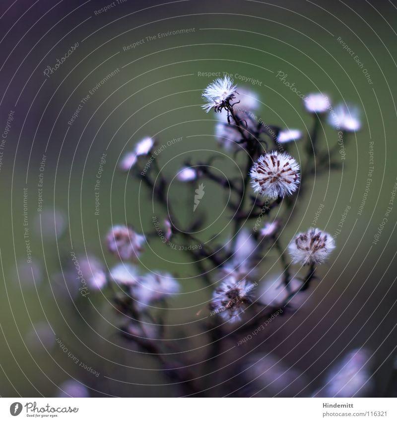 3. Blumen sagen mehr als Worte ... Sonderfahrt ins Glück Astern Blüte Stengel Härchen Wiese grün weiß grau silber Winter Herbst Blühend welk braun offen