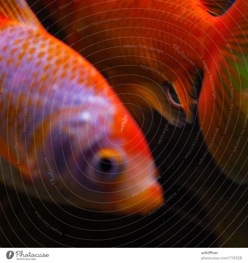 Fisch & Stäbchen I Wasser Auge orange Zusammensein gold Tierpaar glänzend Schwimmen & Baden paarweise Trennung Aquarium Schwanz Schwimmhilfe Ehe
