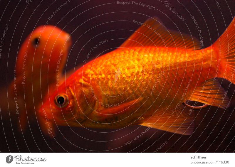 Fisch & Stäbchen II Goldfisch Aquarium Ehe Zusammensein versöhnen Kopfschuppe Schwanz Fischstäbchen orange Schwimmhilfe gold Aquaristik Wasser glänzend