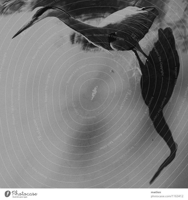 die Alten kennen die Ecken Seeufer Tier Wildtier Vogel Flügel 1 stehen grau schwarz weiß beobachten bewegungslos Graureiher Schattenspiel Schwarzweißfoto