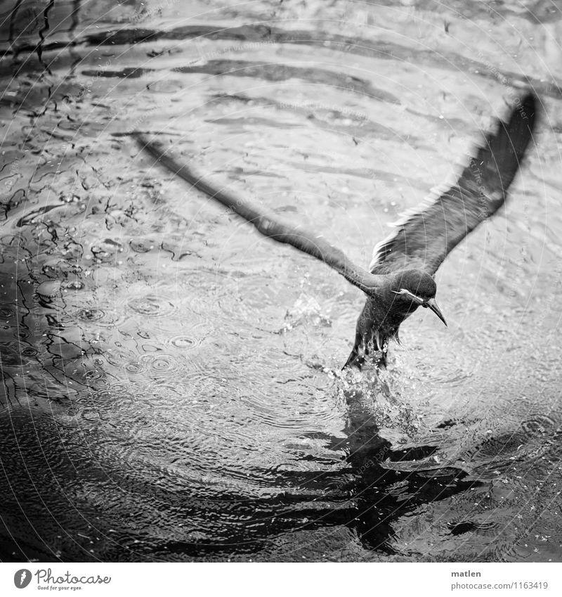 aufgetaucht Tier Vogel 1 fliegen schwarz weiß auftauchen Seeschwalben tropfend Tragfläche Schwarzweißfoto Außenaufnahme Menschenleer Textfreiraum oben