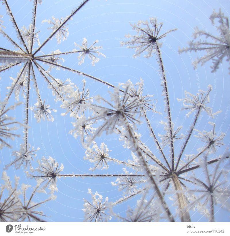 HAPPY NEW FLOWERS schön Winter Schnee Himmel Wolkenloser Himmel Schönes Wetter Eis Frost Blume kalt blau weiß Eiskristall gefroren Märchenlandschaft zart