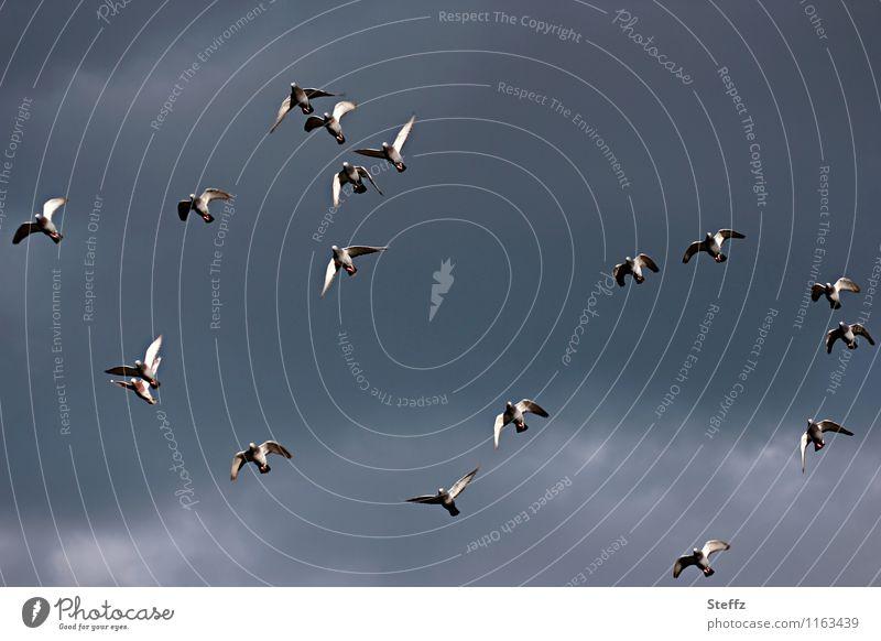 Taubenflug Natur Himmel Vogel fliegen hoch einzigartig natürlich blau grau chaotisch taubenblau blau-grau grau-blau Vogelflug fliegend durcheinander