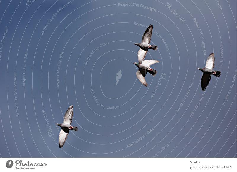 Taubenflug II Natur Himmel Wolkenloser Himmel Vogel Flügel 4 Tier fliegen hoch natürlich blau grau Anmut taubenblau blau-grau fliegend Textfreiraum Farbfoto