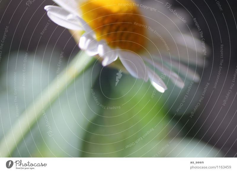 Im Wind Umwelt Natur Pflanze Frühling Sommer Blume Blüte Kamillenblüten Margarithe Garten Park Feld Blühend Wachstum ästhetisch natürlich weich gelb grün weiß
