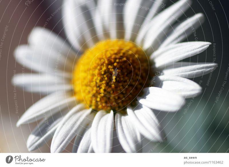 Blüte Lifestyle Wellness Leben harmonisch Sinnesorgane Garten Umwelt Natur Pflanze Frühling Sommer Schönes Wetter Blume Gänseblümchen Kamille Margerithe Park