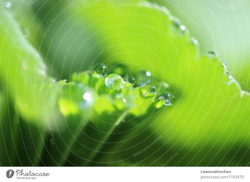 green droplets I Natur Pflanze Blatt Frauenmantelblatt Garten Tropfen leuchten frisch klein nass natürlich rund saftig Sauberkeit grün Leben Beginn Hoffnung