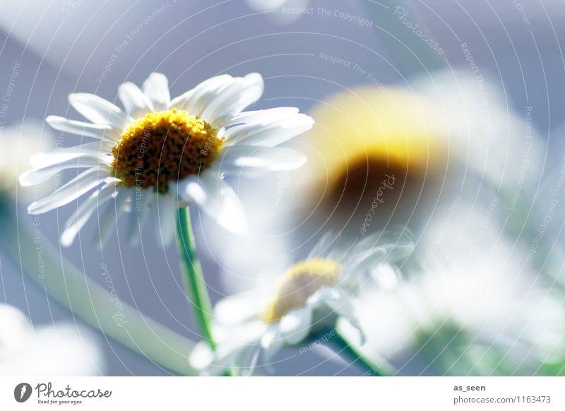 Büten im Sonnenlicht Natur Pflanze schön weiß Sommer Blume ruhig Freude Umwelt gelb Leben Blüte Frühling Wiese Garten
