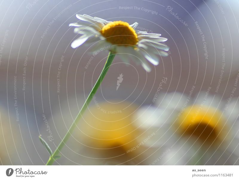 Der Sonne entgegen ... Natur Pflanze weiß Sommer Blume ruhig Umwelt gelb Blüte Frühling Bewegung natürlich Garten Lifestyle Freizeit & Hobby Design