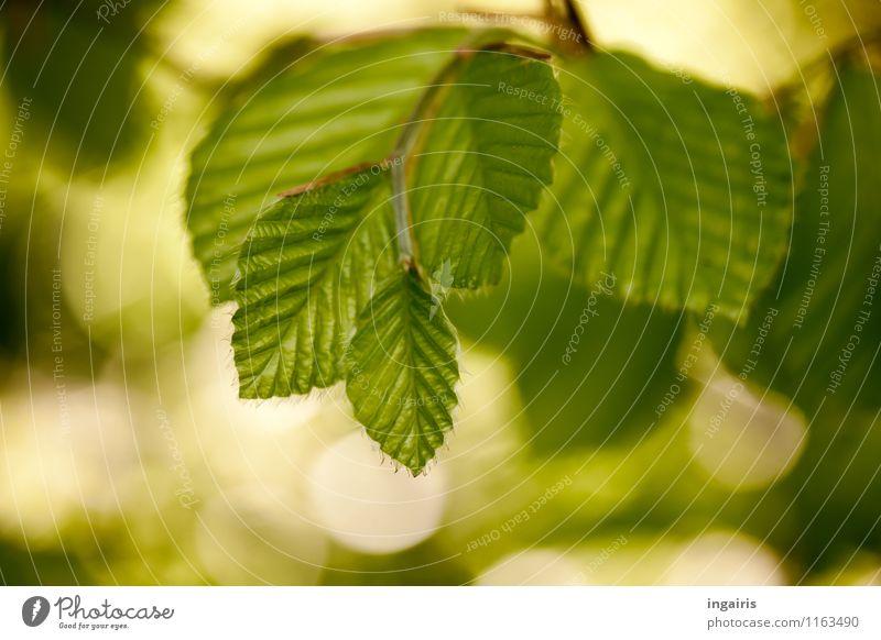 Buchgrün Natur Pflanze Frühling Blatt Buchenblatt glänzend leuchten Wachstum frisch natürlich weich braun Stimmung Frühlingsgefühle Idylle rein träumen