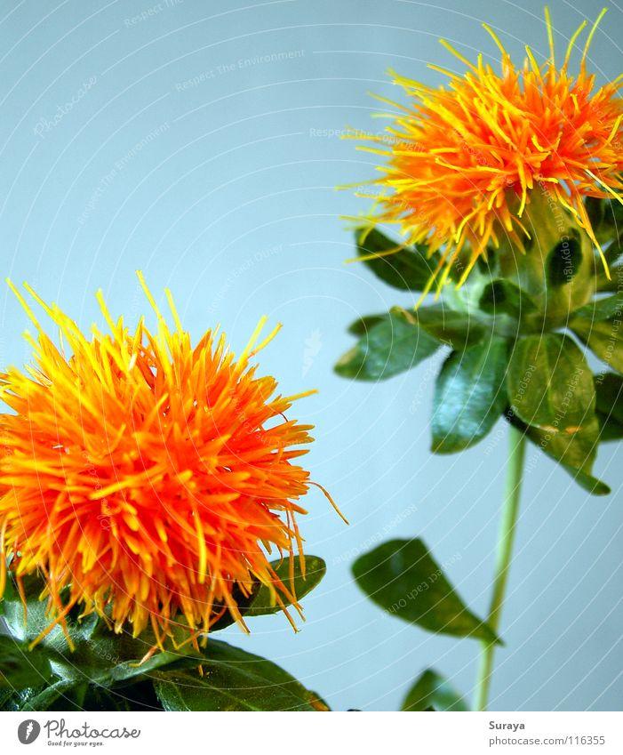 Strubbel Blume Pflanze Blüte 2 orange Kugel exotisch Nähgarn