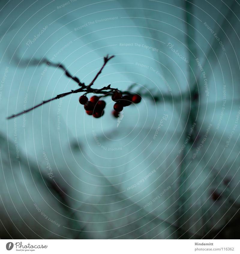 Verbotene Früchte Himmel schön blau rot Pflanze Winter ruhig Leben dunkel Ernährung Herbst Denken hell braun Lebensmittel Vogel