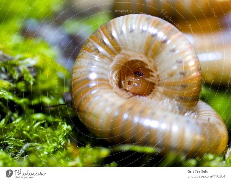 Spirostreptidae spec.1 Tier Koloss Tansania
