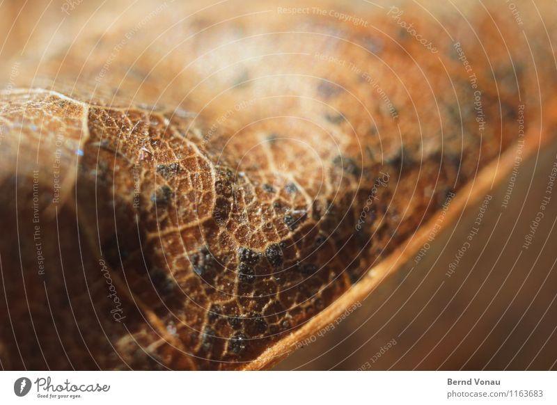 Blatt Umwelt Natur Herbst Pflanze braun gelb schwarz Blattadern Strukturen & Formen trocken Tod Zeit Leben Landkarte nah fein Farbfoto Außenaufnahme