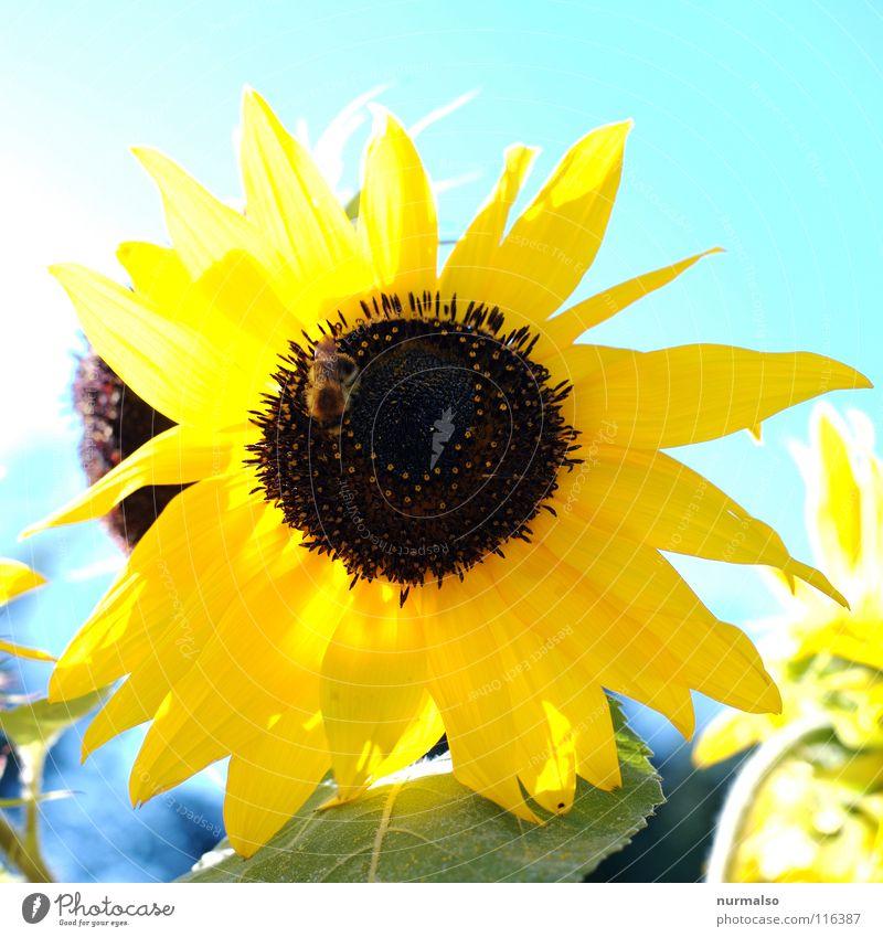 Sonne für's Jahr Blume Sonnenblume gelb Sommer Korn Physik Feld Wärme Himmel Sonnenblumkerne
