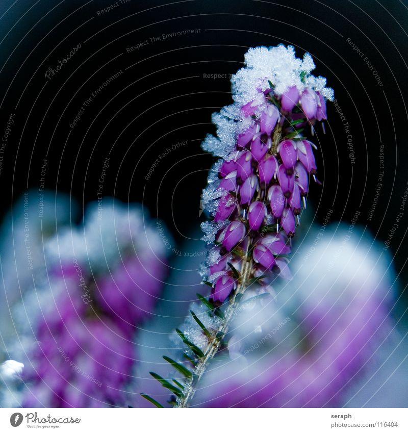 Heide Natur Pflanze Blume Winter kalt Schnee Blüte Eis Frost Jahreszeiten gefroren Blütenknospen reif Botanik Blütenblatt Kristallstrukturen