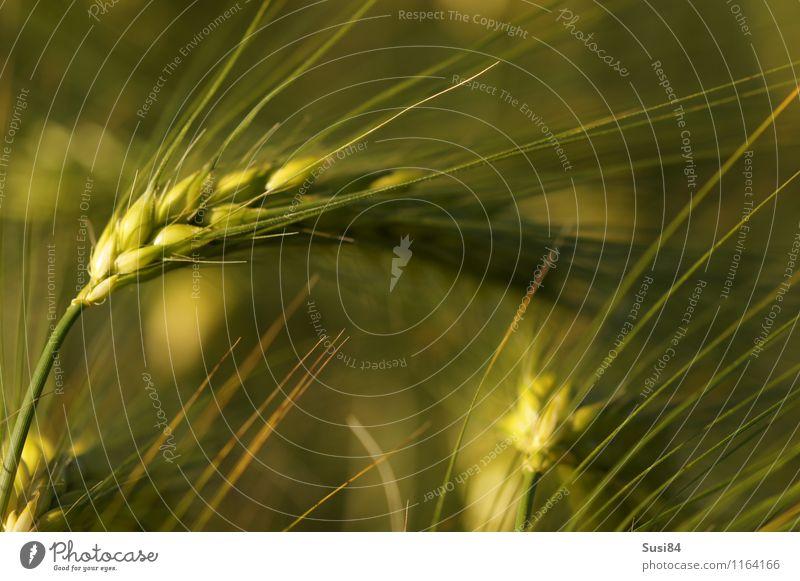 Ähre Natur Pflanze Sommer Gras Nutzpflanze Ähren Getreide Kornfeld Gerste Roggen Feld hängen Wachstum nachhaltig natürlich grün Stimmung Kraft Abenteuer Beginn