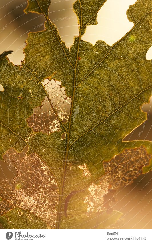 Eichenblatt im Gegenlicht Natur Pflanze grün Sommer Blatt Wald natürlich hell leuchten Idylle gold ästhetisch Vergänglichkeit einzigartig Ende Fressen