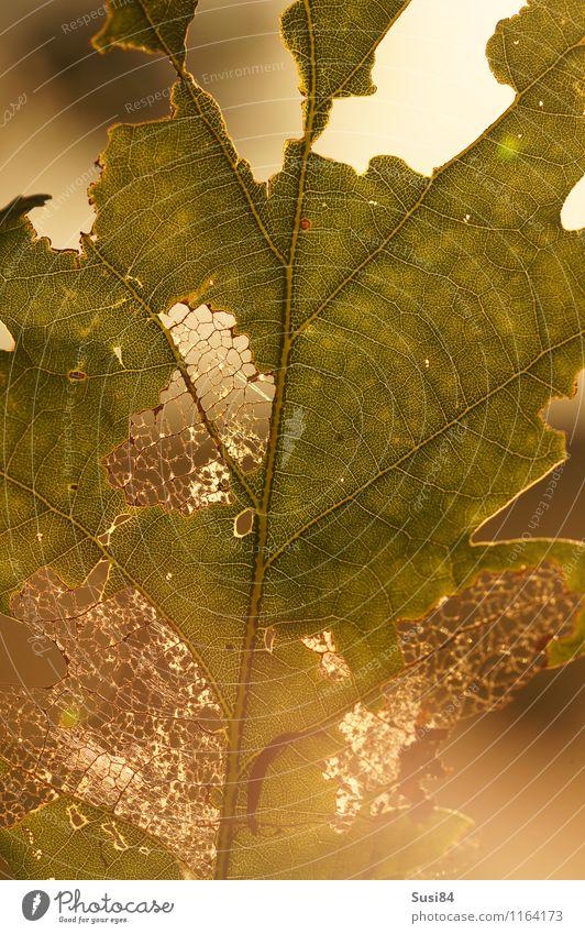 Eichenblatt im Gegenlicht Natur Pflanze Sommer Blatt Wildpflanze Wald Fressen leuchten ästhetisch hell einzigartig natürlich gold grün Ende Idylle